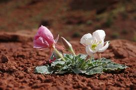 two flowers growing in red soil